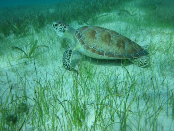 Turtle seagrass
